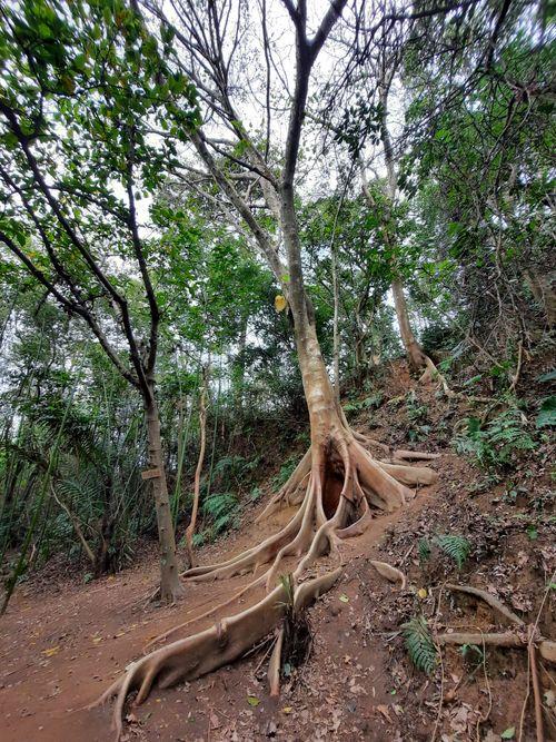 大板根,下方為許多交織的板根,上方則為濃密的枝葉