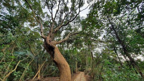 巨樹 (往回拍因此在左側),左側有棵巨樹,中間有條石階步道