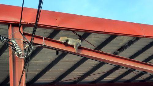 照片中有紅色鐵製樑柱,橫向的樑柱上有一隻台灣獼猴