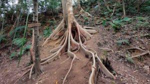 圖中為位於飛鳳山步道上的一棵大板根巨木的圖片,交織的板根蜿蜒於土中,是飛鳳山的奇特自然景觀之一
