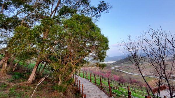 中間木棧道與右側有山櫻花,左側有大樹